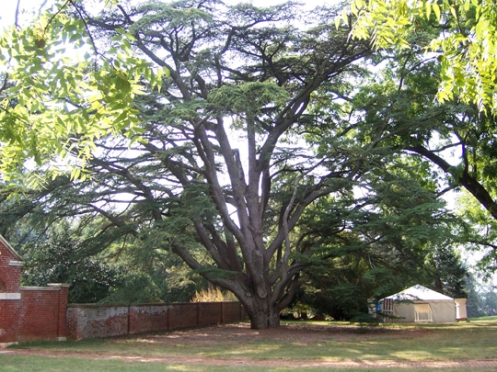 Cedar of Lebanon at Montpelier