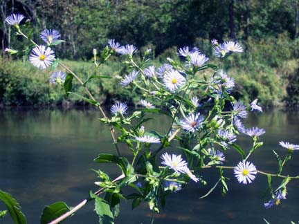 Asters and the River