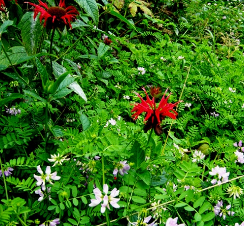 Bee Balm in crownVetch