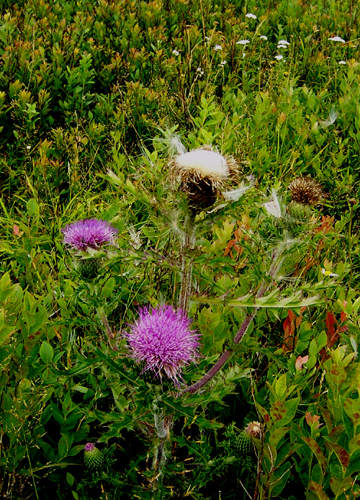 Bull thistle Big Meadow