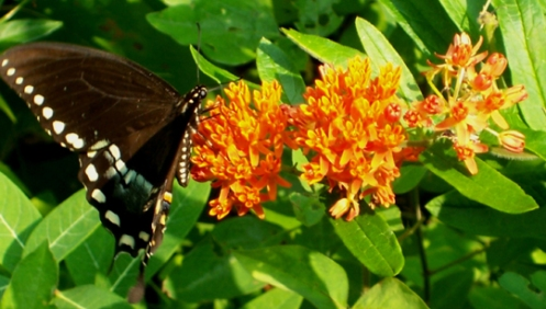 Butterflly on Butterfly Weed
