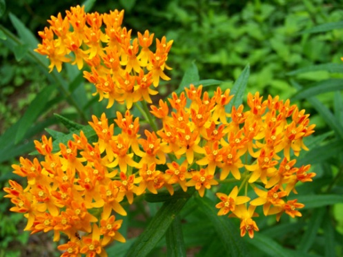 Butterfly Weed close