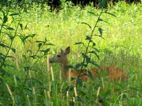Deer on theParkway