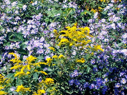 Golden Rod and Aster Glory