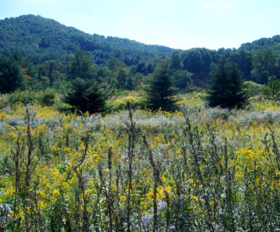 Golden Rod and Aster Meadow