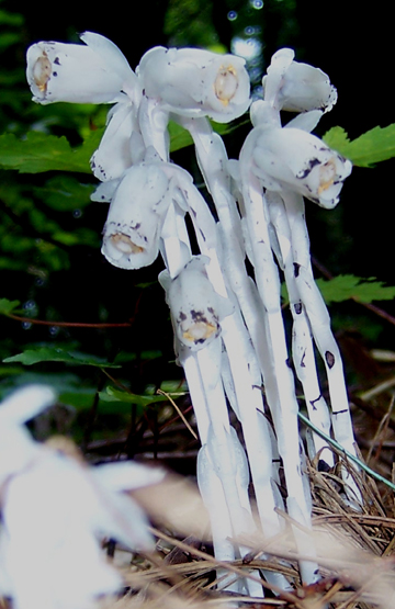 Indian Pipe Portrait