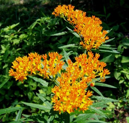 July 4 ButterflyWeed