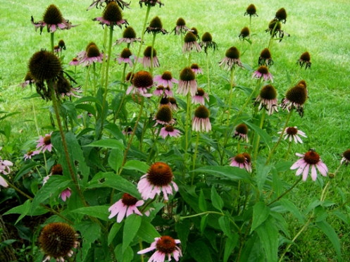 Purple Coneflower Field