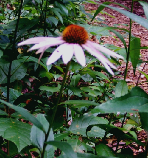 Purple Coneflower Side View