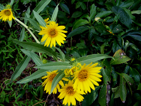 TallSunflower