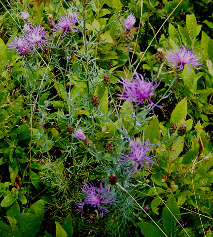 Spotted Knapweed or Spotted Star Thistle 6