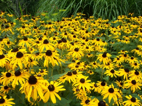 Yellow Cone Flowers 7