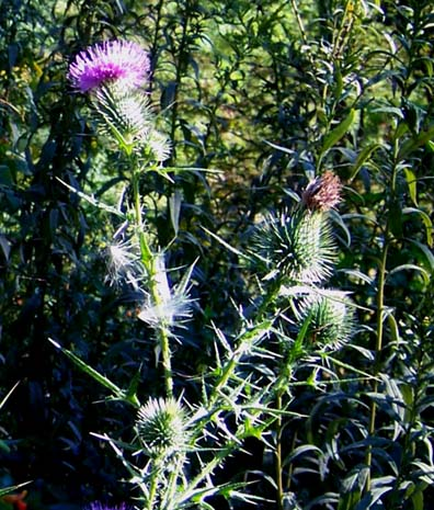 Bull Thistle Morning