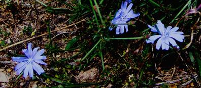 Chicorydetail