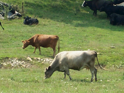 Cows in Persoective