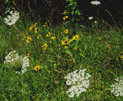 Queen Ann's Lace and Brown Eyed Susans