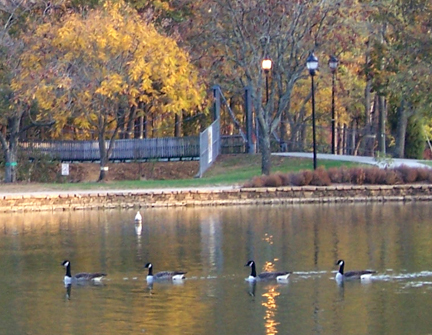 Resident geese on the lake